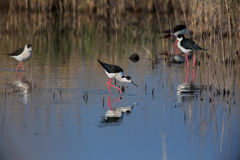 Black-winged Stilt Royalty Free Stock Photography