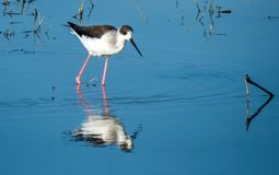 Black-winged stilt bird in a lake near Indore ,India. The black-winged stilt is a widely distributed very long-legged wader in the avocet and stilt family Royalty Free Stock Photo