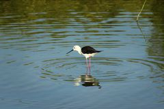 Black-winged Stilt bird. Looking for the prey in water Stock Photography