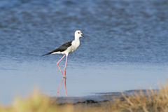 Black-winged stilt bird in Pottuvil, Sri Lanka Royalty Free Stock Photo