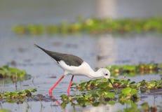 Black winged stilt bird searching food. Single black winged stilt bird searching food in water of pond. beautiful and natural view. photo click at banswara Royalty Free Stock Photo