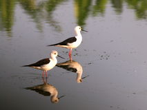 Black-winged Stilt bird Royalty Free Stock Images