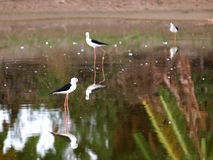 Black-winged Stilt bird Royalty Free Stock Image