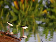 Black-winged Stilt bird Royalty Free Stock Photos
