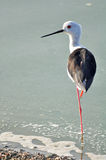 Black-winged Stilt bird  stand with one leg Royalty Free Stock Image