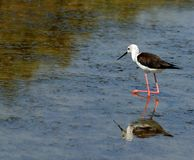 Black-winged stilt bird with tapered legs walking Royalty Free Stock Images