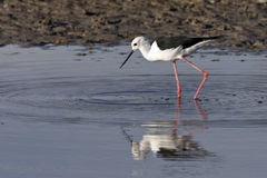 Black-winged Stilt - Botswana Stock Image