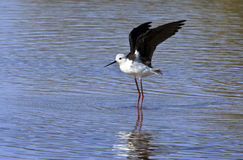 Black-winged Stilt - Botswana. Black-winged Stilt (Himantopus himantopus). Chobe River in northern Botswana Royalty Free Stock Photography