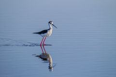 Black winged stilt in breeding colors looking right Royalty Free Stock Photography