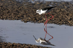 Black-winged Stilt - Chobe River - Botswana Stock Photography