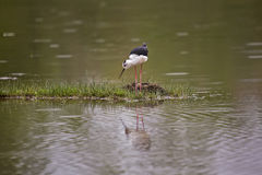 Black-winged Stilt close to the nest. Black-winged stilt, also called common stilt, cientific name Himantopus Himantopus. Nest with two eggs stock image