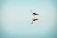 Black-winged Stilt, Common Stilt, or Pied Stilt (Himantopus hima Stock Photos