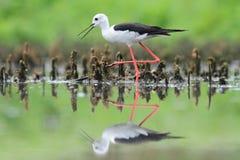 Black-winged Stilt, Common Stilt, or Pied Stilt (Himantopus himantopus) Stock Images