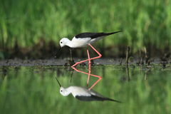 Black-winged Stilt, Common Stilt, or Pied Stilt (Himantopus himantopus) Stock Photo