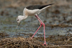 Black-winged stilt, common stilt, or pied stilt (Himantopus himantopus) Stock Photography