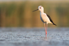 Black-winged Stilt in Evening Stock Photos