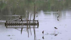 Black-winged stilt feeding stock video footage