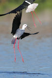 Black Winged Stilt fighting Stock Photo