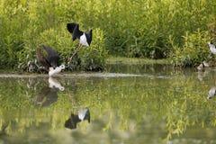 Black-winged stilt while fighting. Black-winged stilt portrait on green swamp background Stock Photos
