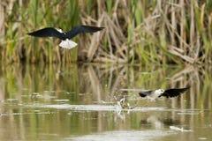 Black-winged stilt while fighting. Black-winged stilt portrait on green swamp background Royalty Free Stock Images