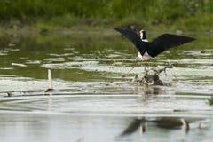 Black-winged stilt while fighting. Black-winged stilt portrait on green swamp background Stock Photography