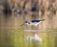 Black-winged Stilt, fishes for food in water-- Stock Images