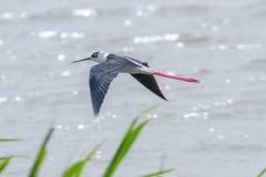Black Winged Stilt in Flight Himantopus himantopus Wader Bird Flight. Wildlife royalty free stock photos