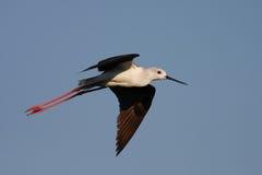 Black-winged Stilt flying Stock Image