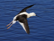 Black Winged Stilt 02 Stock Photos