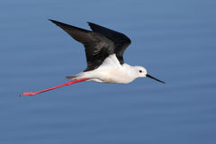 Black Winged Stilt in flying over water Stock Photo