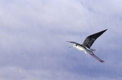 Black-winged stilt. Flying in the sky Stock Images