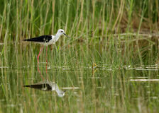 Black-winged Stilt in the grass Royalty Free Stock Photos