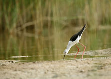 Black-winged Stilt in the grasses Royalty Free Stock Photography