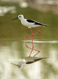 Black-winged Stilt and green background Royalty Free Stock Image
