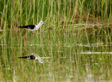 Black-winged Stilt and green grass Royalty Free Stock Photography