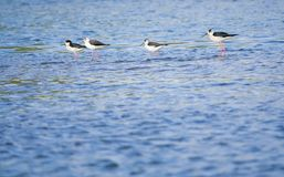 Black-winged Stilt. A group of Black-winged Stilt searched for food in river. Scientific name:Himantopus himantopus Royalty Free Stock Photo