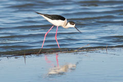 Black-winged stilt  / Himantopus himantopus Royalty Free Stock Photos