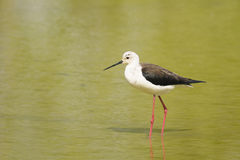 Black-winged stilt, himantopus himantopus Stock Photos