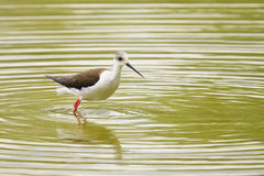 Black-winged stilt, himantopus himantopus Royalty Free Stock Photography