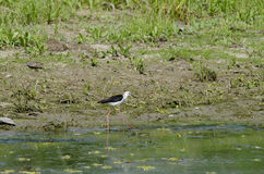 Black-winged Stilt (himantopus himantopus) Royalty Free Stock Image