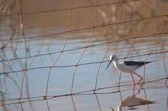 Black winged stilt Himantopus himantopus behind a fence. Catalina Garcia lagoon. Tuineje. Fuerteventura. Canary Islands. Spain stock photo