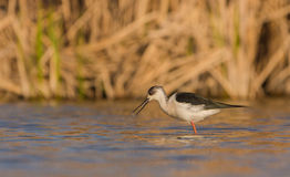 Black-winged Stilt. A Black-winged Stilt (Himantopus himantopus)  checks the shallow waters of a lagoon for small invertebrates Stock Images
