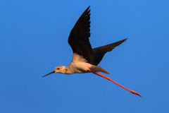 Black winged stilt. (Himantopus himantopus) in flight. Comana Natural Park, Romania Stock Photos