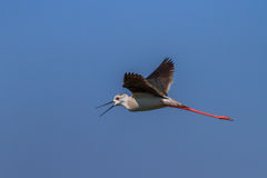 Black winged stilt. (Himantopus himantopus) in flight. Danube Delta, Romania Stock Photo