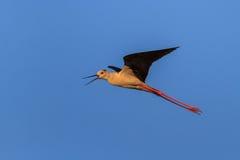 Black winged stilt Royalty Free Stock Image