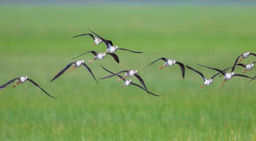 Black-winged Stilt (Himantopus himantopus ) Royalty Free Stock Images