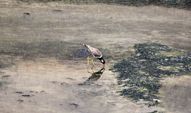 Black-winged Stilt (Himantopus himantopus). Stock Photography