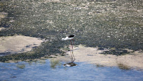 Black-winged Stilt (Himantopus himantopus). Royalty Free Stock Image
