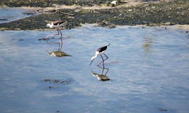 Black-winged Stilt (Himantopus himantopus). Royalty Free Stock Images