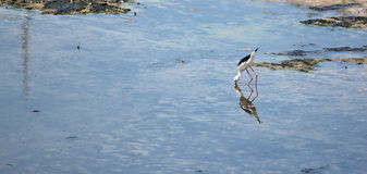 Black-winged Stilt (Himantopus himantopus). Stock Photo